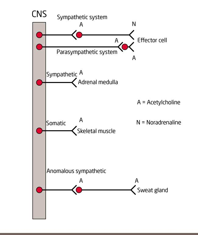 figure 2 neurotransmitters in the nervous system