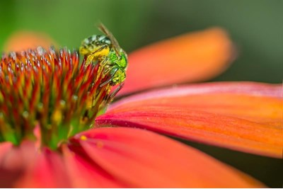 A sweat bee