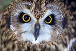 Owl: figure 2
